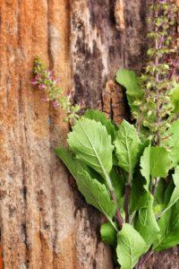 Tulsi, plante composant les soins anti-âge bio de Késari