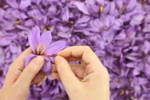 Fleur de safran, anti rides efficace