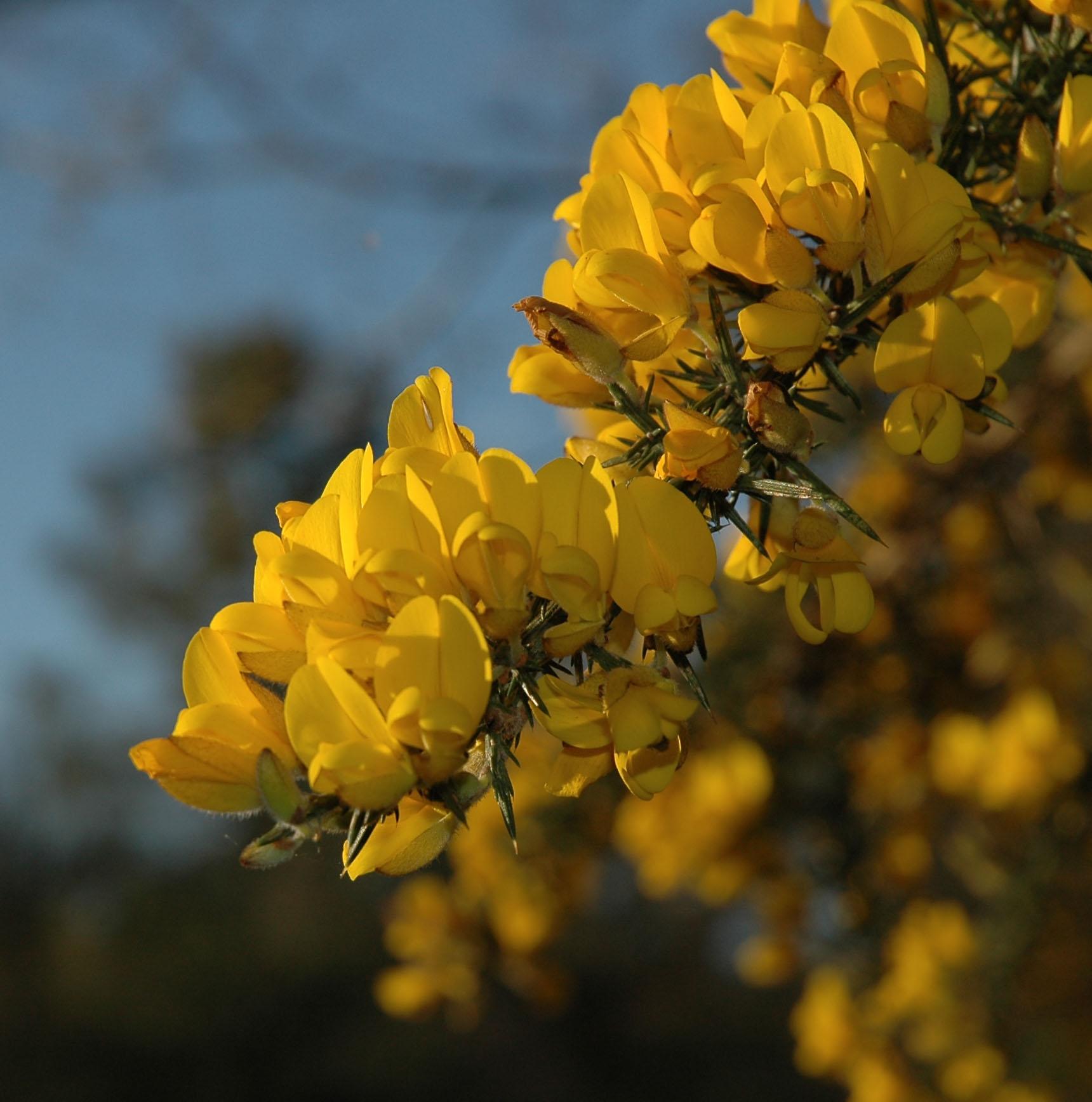 Fleur d'Ajoncs, terre bretonne