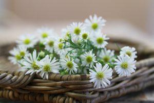 Camomille utilisé pour la création de cosmétiques artisanaux par Beauty Garden