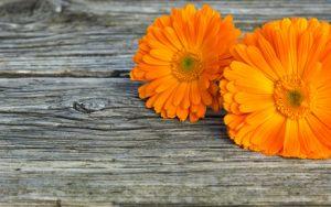 Calendula bio utilisé dans les soins bio pour le corps Beauty Garden
