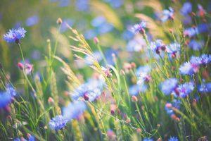 Bleuet dans la Potion Botanique