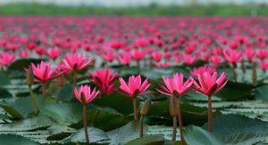 Fleur de Lotus utilisée dans les soins Létika