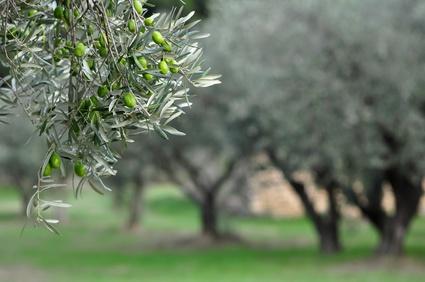 Olivarium, shampoing naturel respectueux de la nature