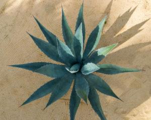 agave bio dans le soin cheveux de la savonnerie du nouveau monde